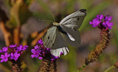 Cabbage White : Feeding in Fading Flight. (Clement Tang ** busy **) Tags: summer flower nature floral closeup butterfly insect evening inflight dof feeding wildlife australia victoria lepidoptera nationalgeographic verbena narrowdepthoffield macrophotography pierisrapae insecta cabbagewhite closetonature heidemuseumofmodernart specinsect concordians