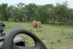 Searching (lourobbo) Tags: southafrica lion timbavati tandatula