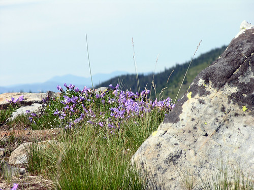 Wild Flowers at High Altitude