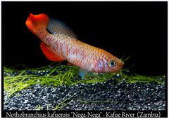 Nothobranchius kafuensis Nega Nega (Bruno Cortada) Tags: malawi marino mbunas cclidos sudafricanos tanganyica