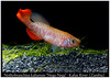 Nothobranchius kafuensis Nega Nega (Bruno Cortada) Tags: malawi marino mbunas cíclidos sudafricanos tanganyica