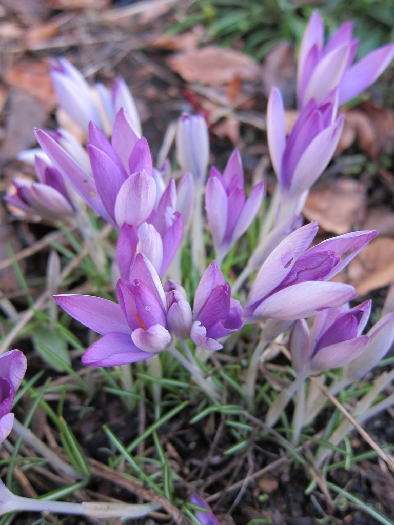 Crocus tommasinianus starting to open