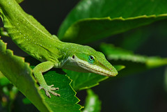 Old Blue Eye (Jeff Clow) Tags: macro green nature closeup garden texas lizard dfw anolelizard ultimateshot theunforgettablepictures jeffrclow