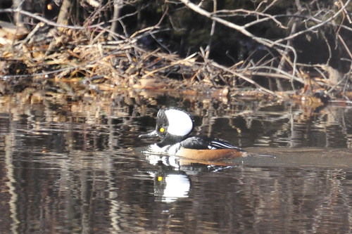 merganser looking for mate