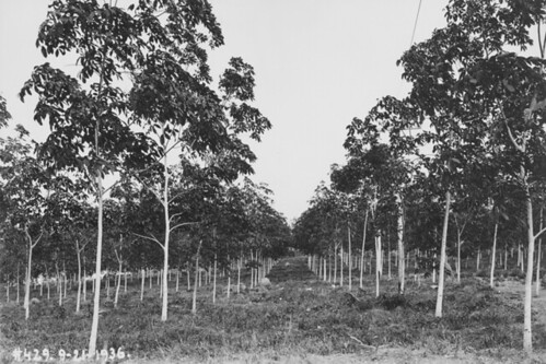 Rubber trees that are 4 1/2 years old, Fordlandia, ca. 1936.