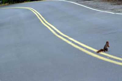 squirrel crossing road