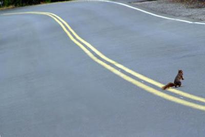 squirrel crossing road