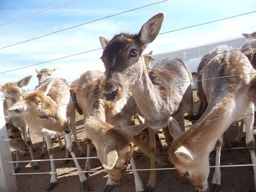Deers looking for a handout