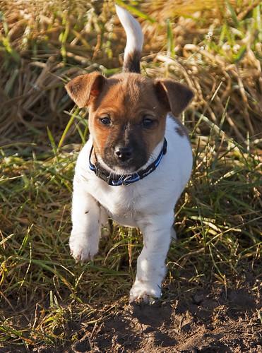 フリー画像| 動物写真| 哺乳類| イヌ科| 犬/イヌ| 子犬| ジャック・ラッセル・テリア|     フリー素材|