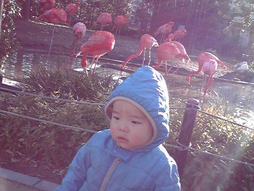 上野公園のフラミンゴ