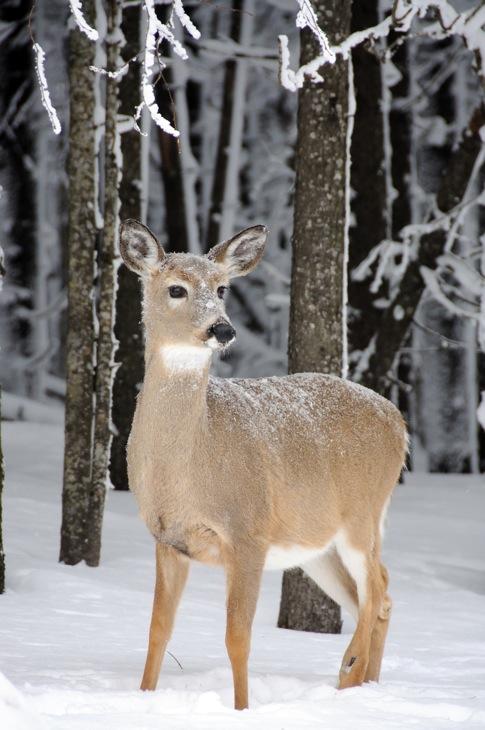 web_deerpose_snowshoe_0155_2507