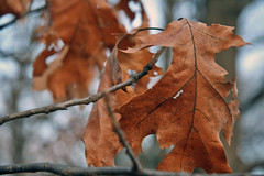 old orange oak leaves