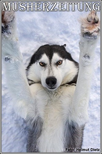 Femundlopet: Husky-Portrait