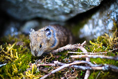 100. Pika... CHU! (prenetic) Tags: flowers light mountains grass animal fur nose washington eyes rocks day bright bokeh hiking ears ground soil dirt pacificnorthwest pikachu swirl creature twigs pnw snoqualmie pika snoqualmiepass kendallkatwalk lagomorph lagomorpha