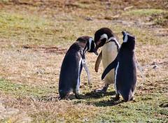 Penguin 'Wedding' at Seno Otway - Tierra del Fuego, Chile (waynedunlap) Tags: world chile travel wedding del penguins escape plan your punta penquin arenas fuego now strait magellan tierra otway gurus seno unhook megellanic unhooknow