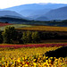 paysage vignes aude pays cathare