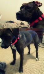 stress wrinkled crack head (WTF_birdy) Tags: dog brown white cute lab pit samantha crackhead