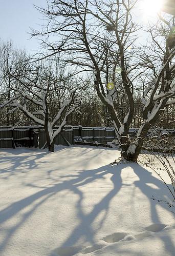 körsbärsträden i sol