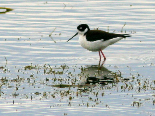 Black-necked Stilt 20100215