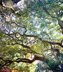 Live Oak HDR (Clexow) Tags: georgia oak liveoak savannah hdr savannahgeorgia