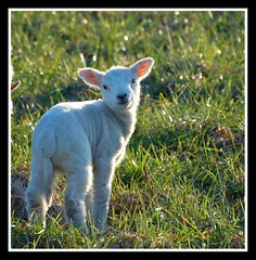 Who shouted 'cute' ? (Levels Nature) Tags: uk england cute animal geotagged spring sheep sweet somerset lamb baa middlezoy mylensatwork joysaphinesfaves