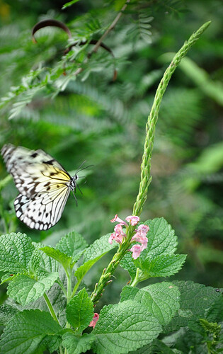 ButterflyinFlight