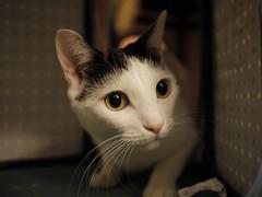 Manju (Howard Chen!) Tags: cute japan cat japanese neko mochi japanesebobtail bobtail 貓 manju jbt