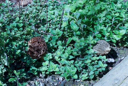 morels in the oregano