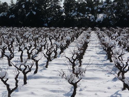 snow on the vines