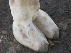 camels toe (WOAW - the world of animal welfare) Tags: wildlife mammals rspca woaw camelsfoot
