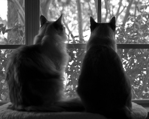 Cats Watching