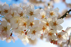 Cherry Blossom (Sprengben [why not get a friend]) Tags: city wedding summer sky urban music art japan clouds skyscraper observation japanese tokyo bay harbor amazing nikon kyoto shinjuku asia waves ship artistic gorgeous awesome watch elevator style divine international stunning cherryblossom sakura tokyotower osaka metropolis roppongi odaiba okinawa yokohama nikko charming foreign fabulous gundam canoneos350d 2009 hdr shushi rainbowbridge hiyoshi niijima  engaging travelphotography d90 keiouniversity photomatix shibuja travellight d3s sprengben benjaminsprenger nationalgovernmentbuilding wwwflickrcomphotossprengben fatherofshushi sakurakirschblte or