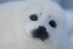 10 15 03_GNP, Mostly Seals_1653 (Mark R. Tsang) Tags: newfoundland harpseal sealpup gnp phocagroenlandica greatnorthernpenninsula nursingseals markrtsang markincb markrtsangphotography copyrightmarkrtsang nottobeusedorcopiedwithoutmypermission