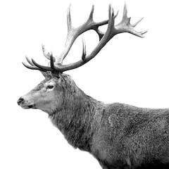 Simply Deer