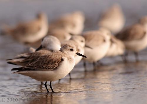 Sanderling lineup