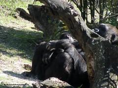 IMG_3142-WDW-DAK-baby-gorilla