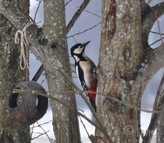 Woodpecker (Tone aka Hobbygaasa) Tags: bird norway woodpecker gjvik