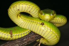 twisk in the mist... two bamboo pit viper juvies... (robferblue) Tags: china cold green yellow misty 1 march snake or pit bamboo hong kong strike jpeg viper 2010 venomous venom trimeresurus twisk albolabris
