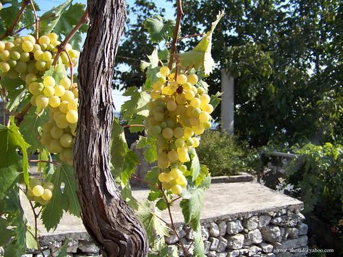 العنب يحمي الجسم من اشعة الشمس الضاره