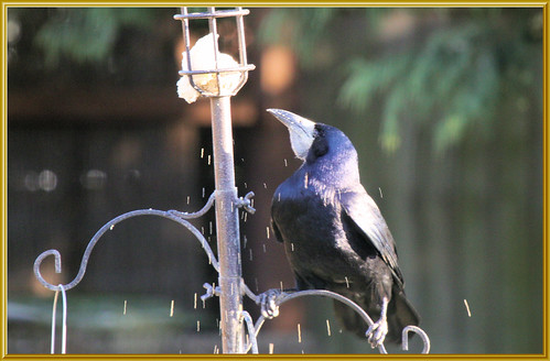 Rook Scattering a Fat Ball