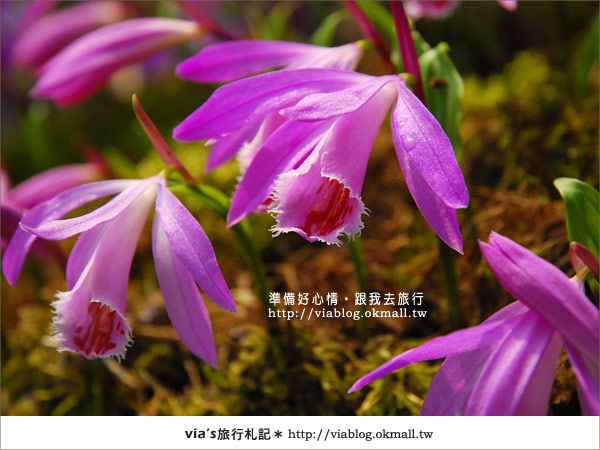 【梅峰農場】不止桃花美!梅峰農場賞花趣~(下)30