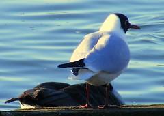 Seagull (* RICHARD M (Over 5 million views)) Tags: nature water birds liverpool march spring wildlife seagull gull lakes waterloo ornithology merseyside crosbymarinepark