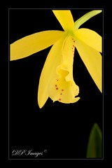 Love Sound (Pauline Cobby) Tags: plant orchid flower nature yellow closeup nikon d300 lovesound macroflowerlovers awesomeblossoms 4tografie silveramazingdetail dpimages