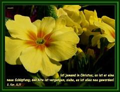 Eine neue Schpfung / a new creation (Martin Volpert) Tags: flower fleur god blossom faith jesus flor blossoms pflanze kirche blumen bible blomma christianity blume bibbia fiore blte blomst bibel virg gemeinde lore biblia bloem blten gott blm iek floro kwiat primel flos ciuri glaube bijbel kvet kukka cvijet ecclesia flouer glauben christentum blth jesuschristus cvet zieds bibelvers is floare  blome iedas bibelverskarte mavo43