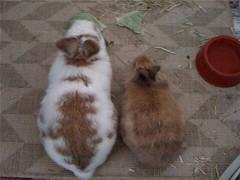 Bonding - Day 2 (LizzieViolet) Tags: rabbit bunny lucca cabbage bun bonding houserabbit lionhead shortcake lionheadrabbit housebunny netherlanddwarfrabbit indoorrabbit indoorbunny nethiex rabbitbonding