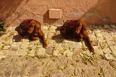 Bis (Calliope86) Tags: cane setter inglese coppia cani agriturismo fratelli