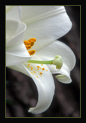The Flower Of Hope (Photographic Poetry) Tags: flower easter march spring lily seasons april 1001nights easterlily ressurection easterweek 1001nightsmagiccity