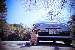 where are we going? (moaan) Tags: sky dog digital drive corgi blossom voigtlander fine bluesky f45 utata  sakura blossoming tokushima welshcorgi 15mm cherrytree fiat500 2010 cinquecento  hiwasa fineday superwideheliar  inblossom rd1s goforadrive pochiko epsonrd1s underthebluesky voigtlanderheliar15mmf45  gettyimagesjapanq1 gettyimagesjapanq2