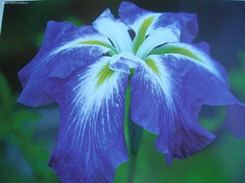Iris ensata Hokkaido