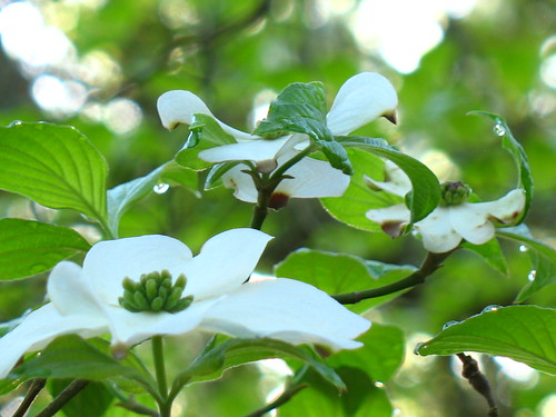 Dogwood in the morning